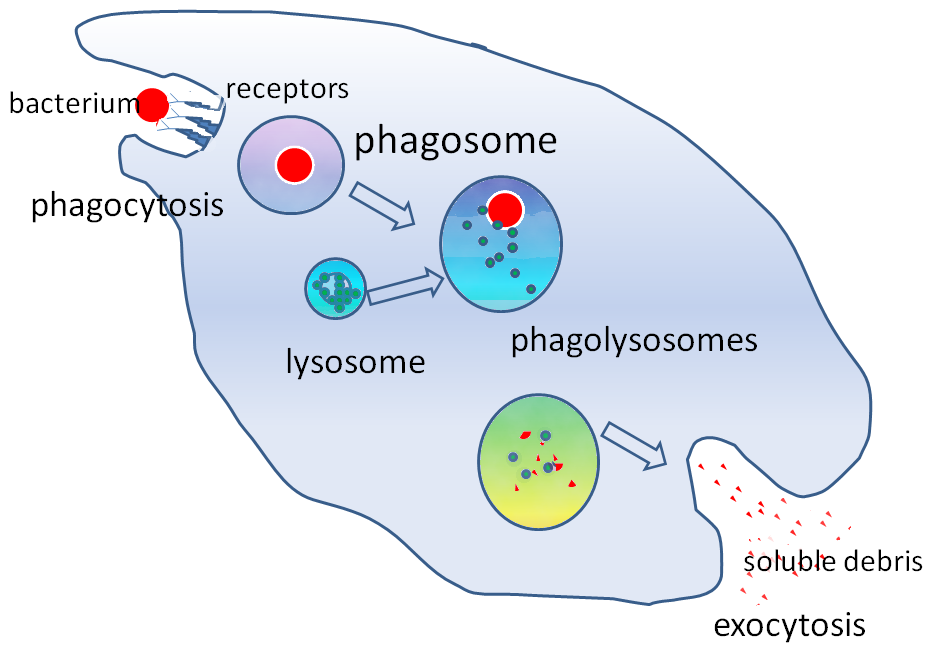 Example Of Phagocytosis The ever fighting war ...