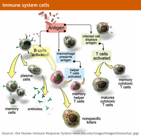 The Ever Fighting War Machine Immune System Its Your Defence